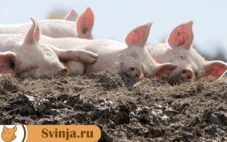 Свиной навоз: использование и переработка
