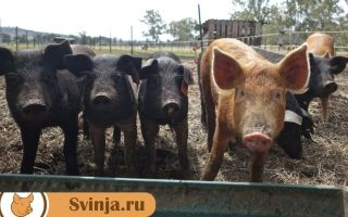 Кормушки для свиней: как выбрать