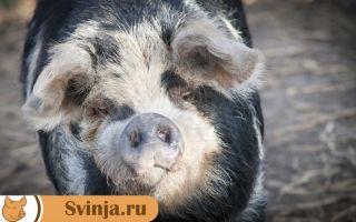 Свиньи мангалы. Основные их особенности