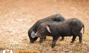 Самые выгодные породы свиней