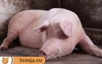 Если свинья упала на ноги