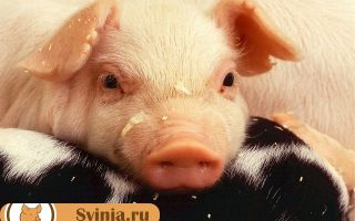 Свиноматка давит поросят: что делать, причины явления