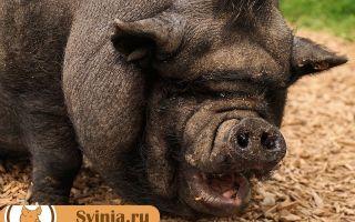 Генномодифицированные свиньи в Камбодже