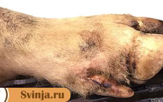 Везикулярная болезнь свиней. Что необходимо знать