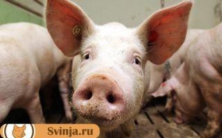 Чума свиней для человека