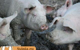 Немного фактов о свиньях