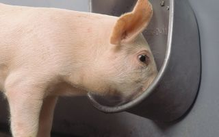 Поилки для свиней