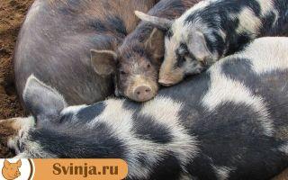Как определить вес свиньи без весов