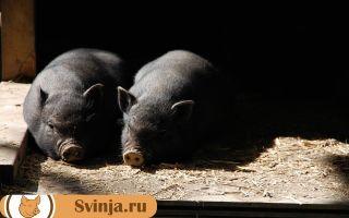 Половозрелость свиней: когда наступает, сколько длится