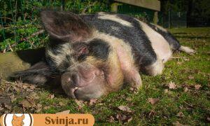 Чем кормить свинью правильно: обзор популярных продуктов