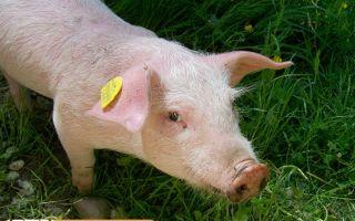 Какую траву едят поросята: полезные и ядовитые виды