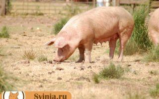 Порода свиней оптимус: оптимальная мясная