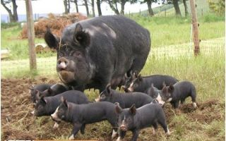 Беркширская свинья: история разведения