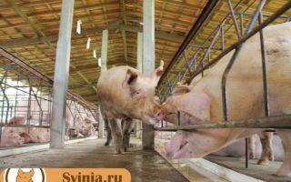 Домашнее свиноводство: успешная бизнес-идея