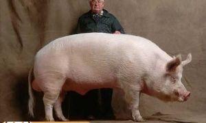 Белые породы свиней: большая белая и белорусская