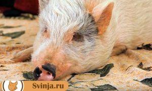 Свинья не ест или плохо ест: что делать?