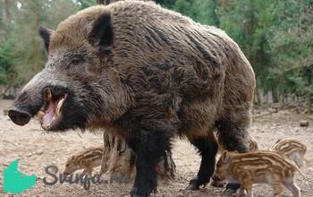 Свинья дикая