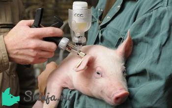 vakcinaciya-svinej-protiv-bolezni1