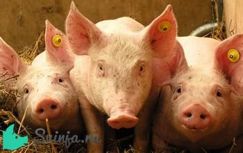 Какая температура у свиней