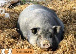 Опорос свиней 1