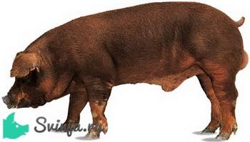 Мясные породы