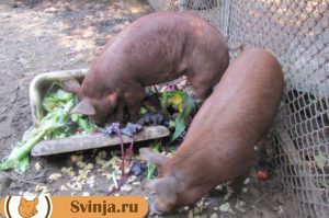 откорм свиней 1