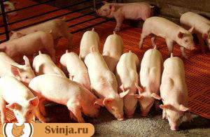 откорм свиней 3