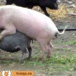 Через сколько гуляет свинья?