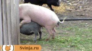 свинья гуляет1