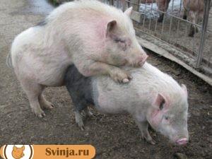 свинья гуляет2