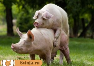 свинья гуляет3