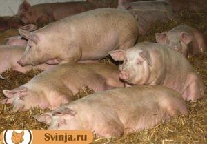 свинья упала 3