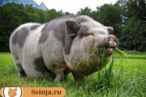 содержание свиней 3