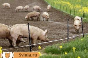 содержание свиней 4