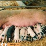 Свинья не дает молоко. Что значит?