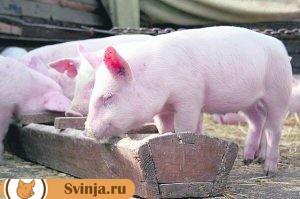 свинья принимает лечебный корм