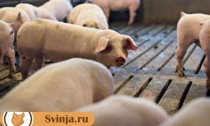 как лечить понос у свиней
