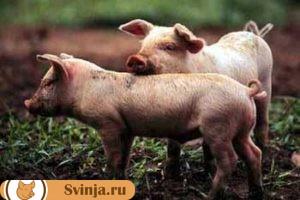 листериоз у свиней