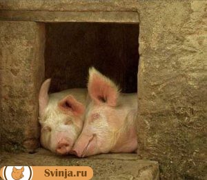 обустройство свинарника