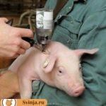 Стимуляторы роста для свиней