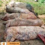 Болезни свиней. Симптомы и лечение