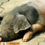 Породы свиней: описание и характеристики