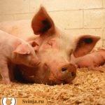 Как определить беременность свиньи?