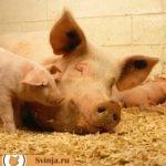 Опорос - роды у свиньи. Как правильно подготовиться