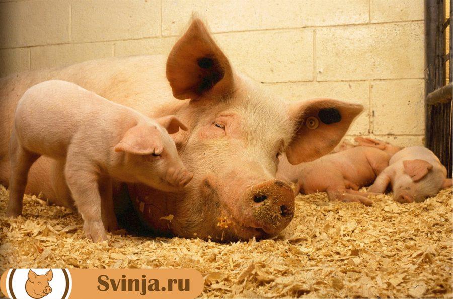 опорос у свиней