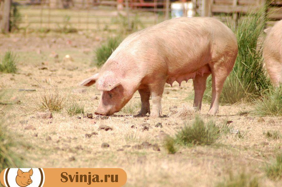 порода свиней оптимус
