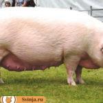 Беконные свиньи: лучшие породы