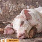 Саркоптоз свиней. Опасен или нет