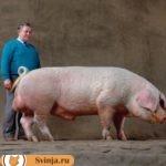 Эстонская беконная порода свиней