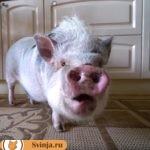 Карликовый поросенок: порода свиней мини-пиги